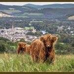 Highland Cattle by Allan Wright Photography - Zenwalls Gallery Peebles